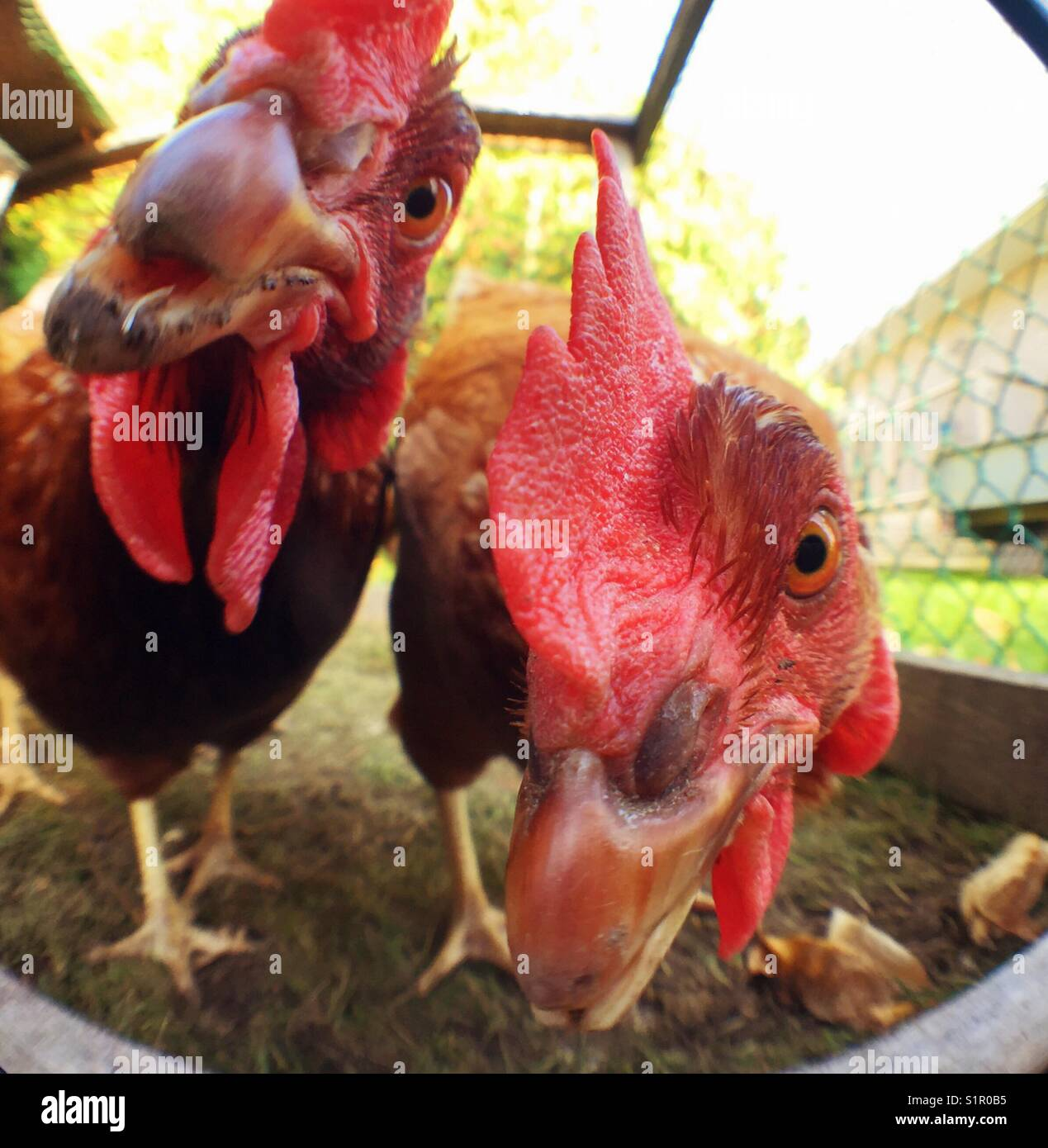 Closeup of two Rhode Island Red chicken faces checking out the photographer - Stock Image