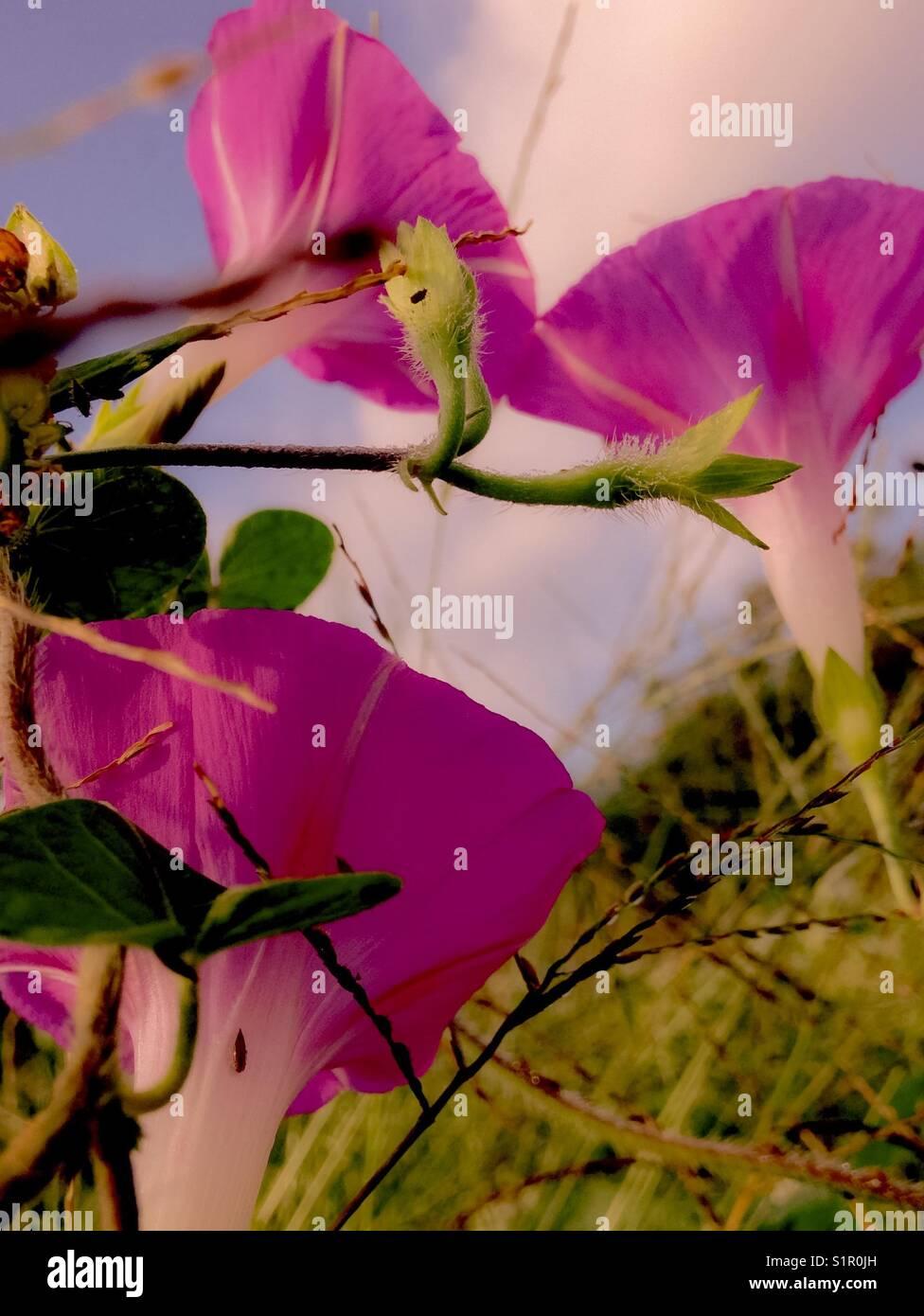 Three graceful morning glories in field of buckwheat - Stock Image