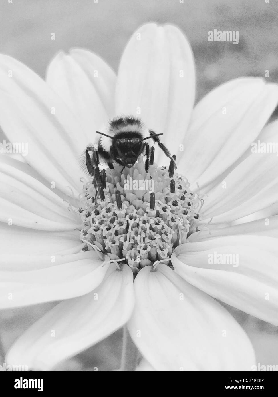 Bees pollinate Cosmos Flower. Shot in black n white. - Stock Image