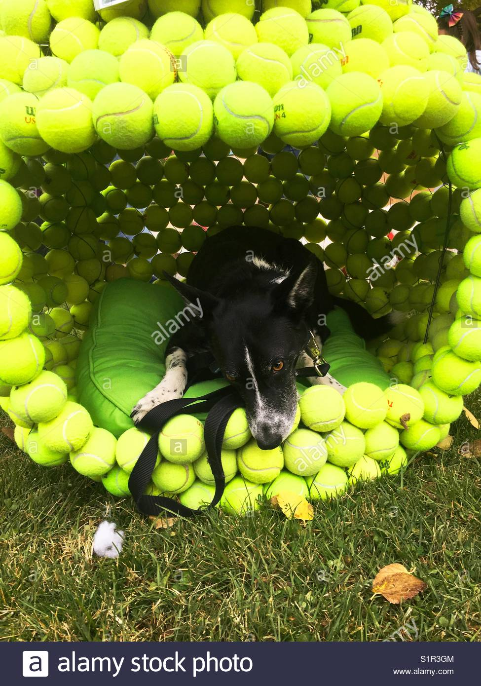 A Border Collie Dog Lies In A Dog House Made Of Tennis Balls Stock