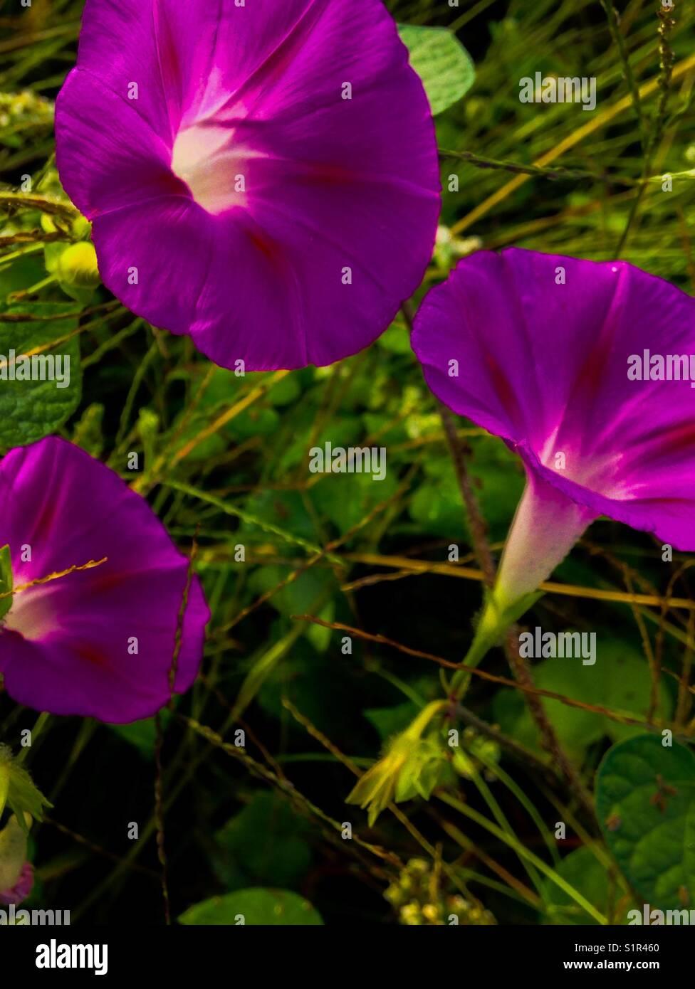 Pink morning glories in morning sun - Stock Image