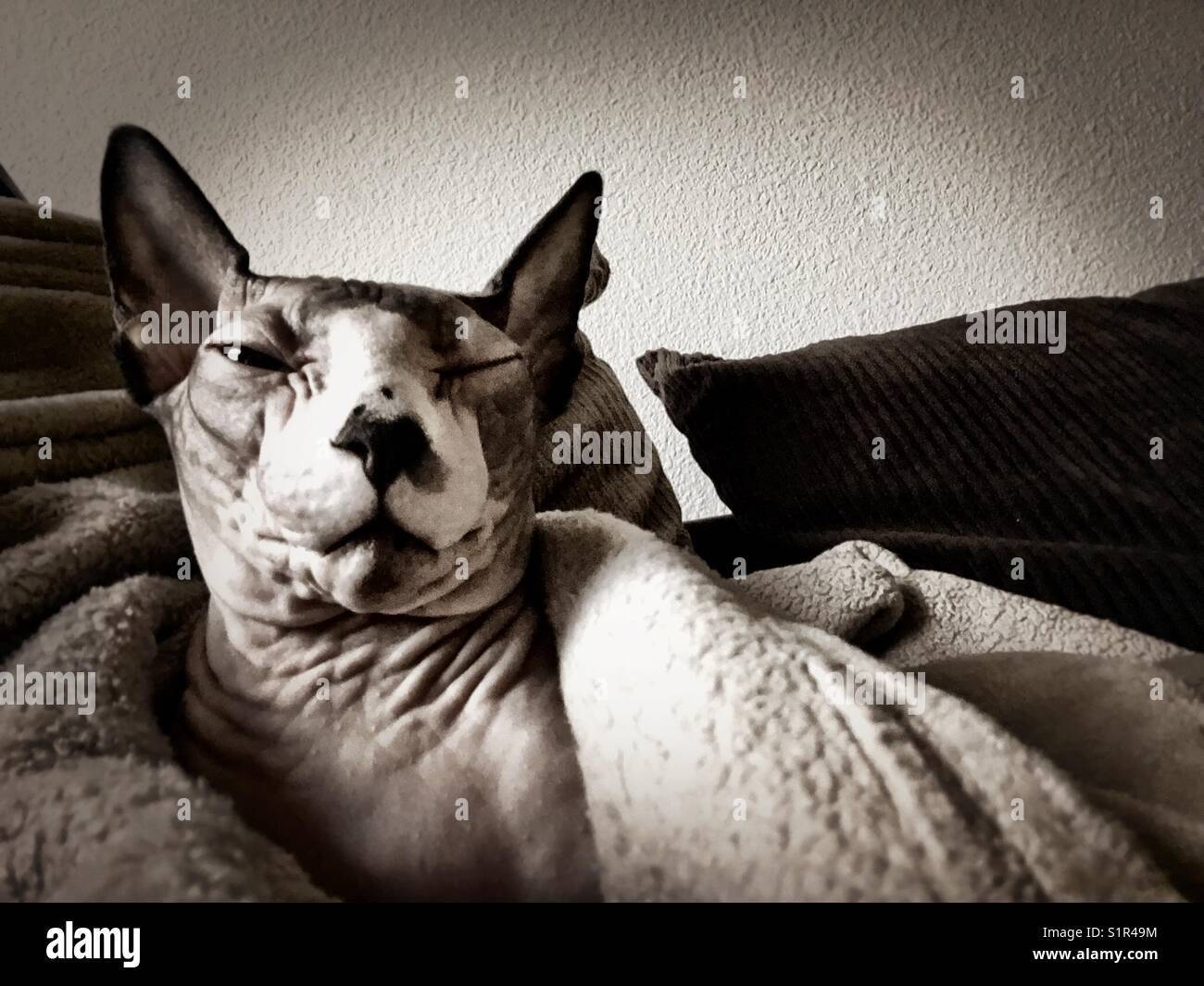 A sleepy hairless Sphynx cat wrapped in a blanket - Stock Image