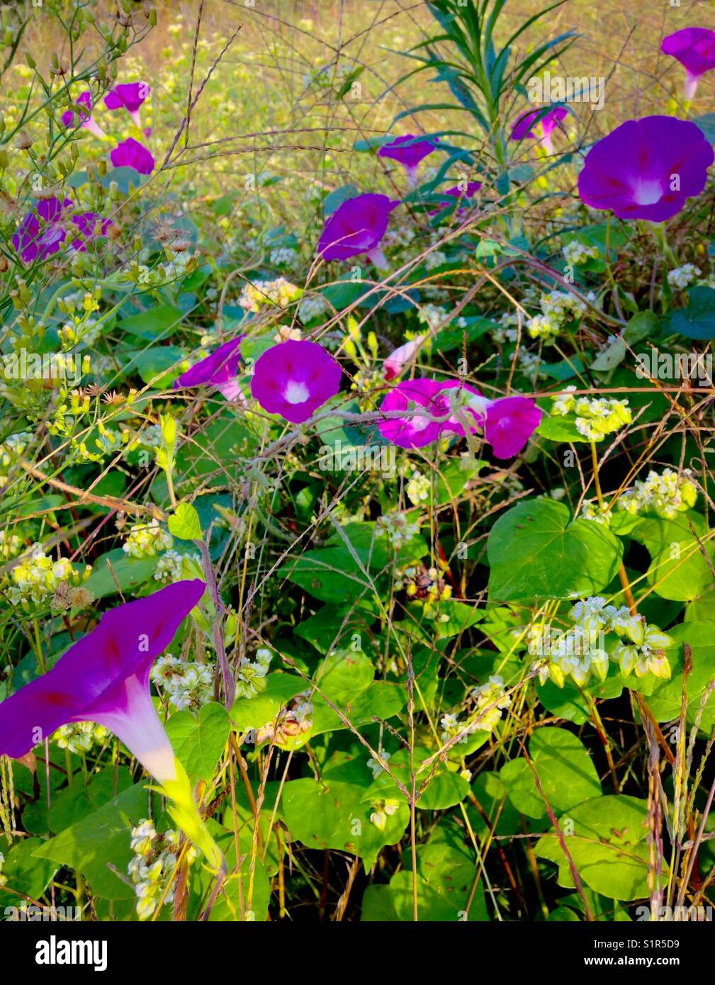 Morning glories in the field - Stock Image