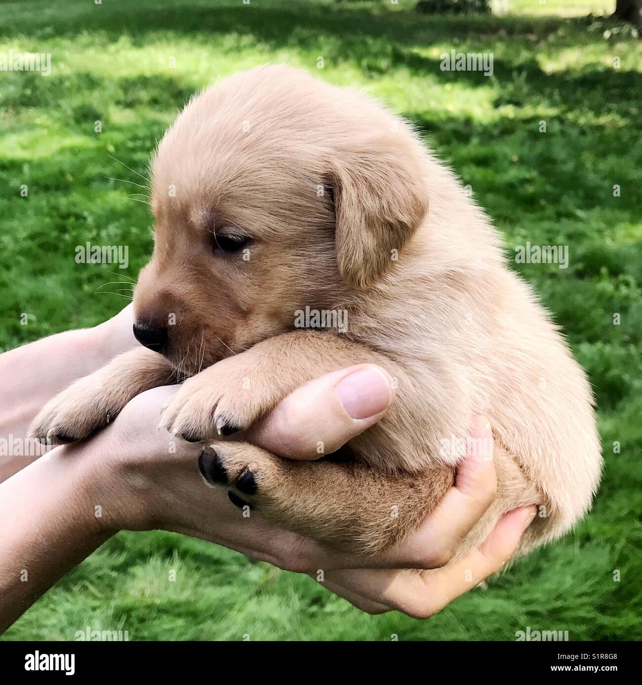 Hands Holding A Baby Golden Retriever Puppy Stock Photo Alamy