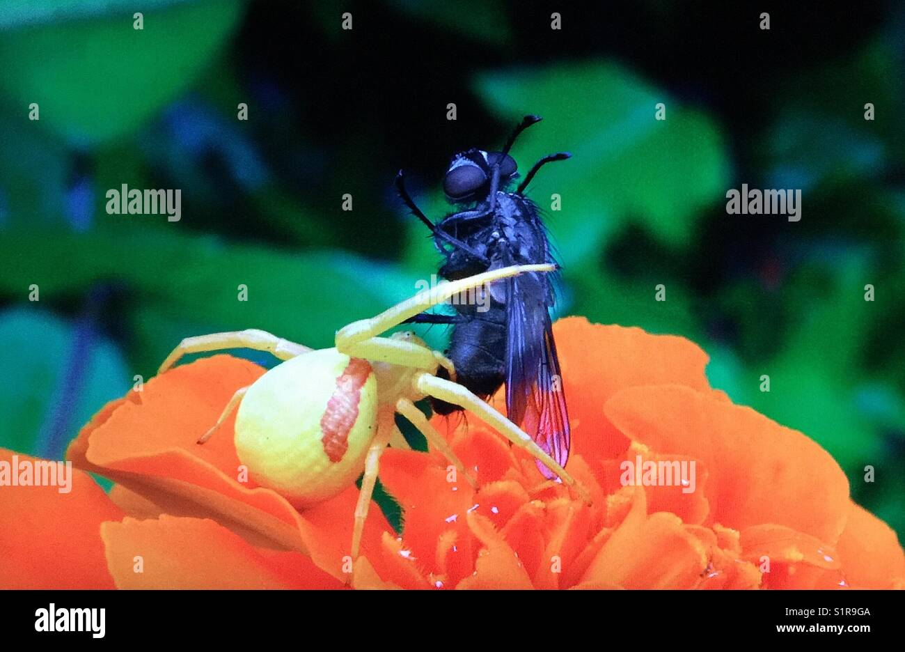 Goldenrod Crab spider capturing food - Stock Image