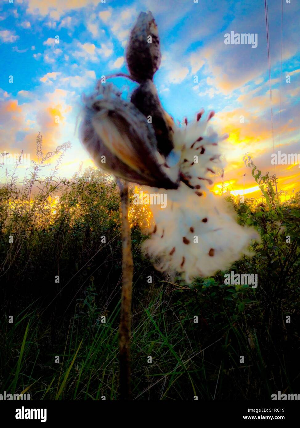 Milkweed fluff - Stock Image