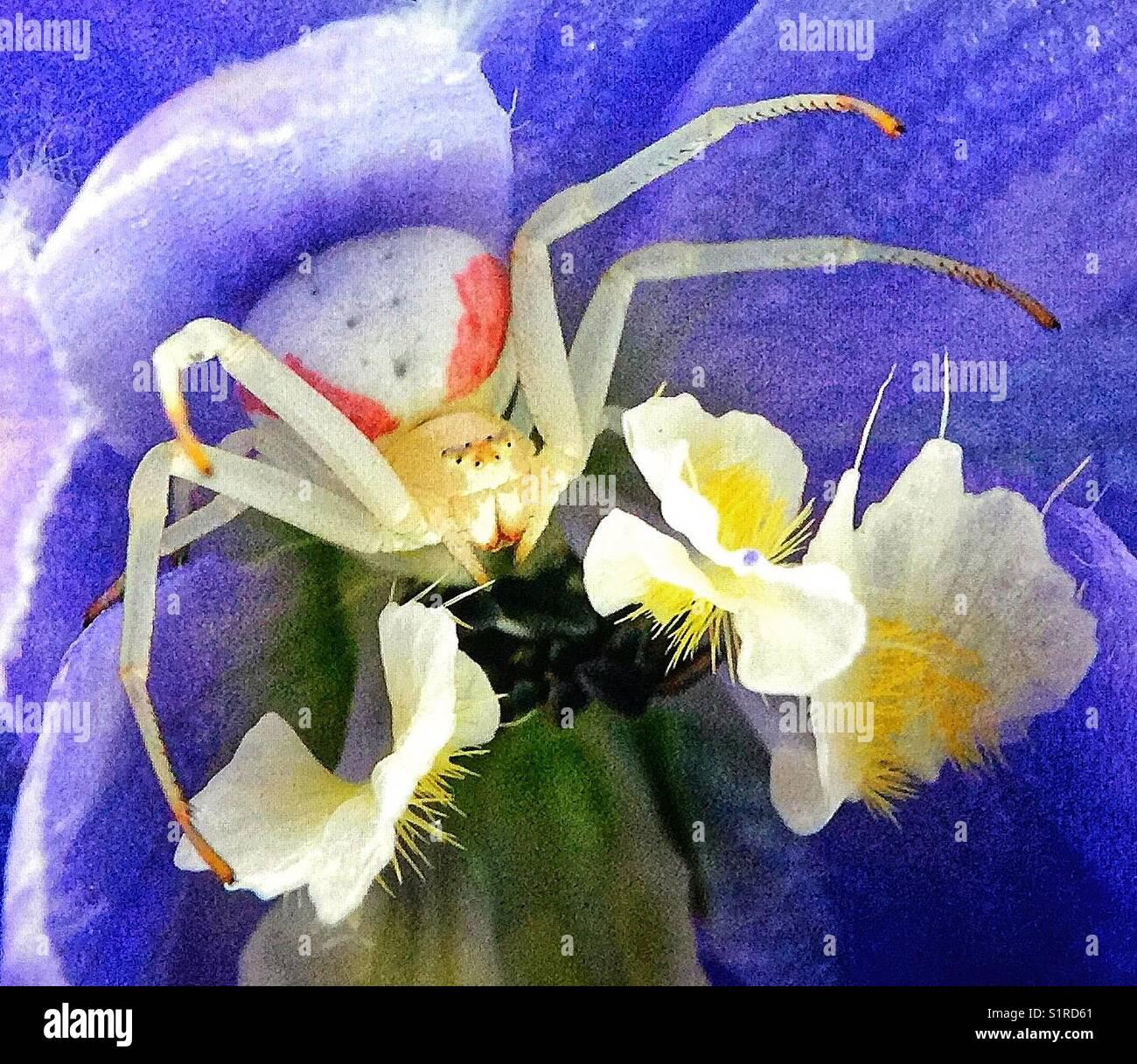 Cram spider on a delphinium - Stock Image