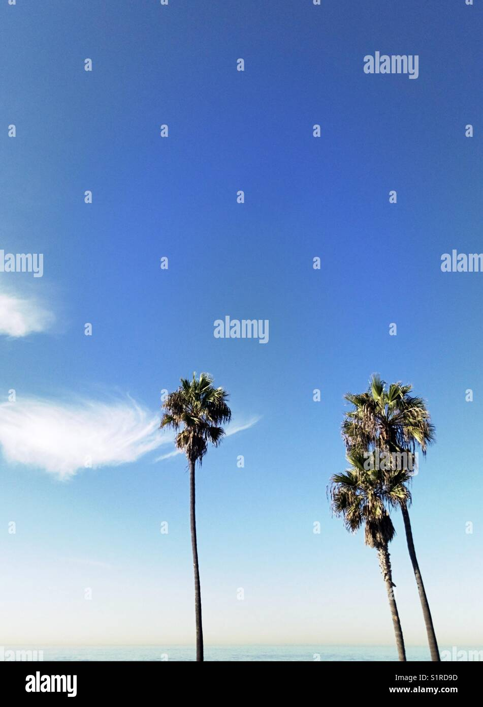 Three palm trees on a clear sunny day. Manhattan Beach, California USA. - Stock Image