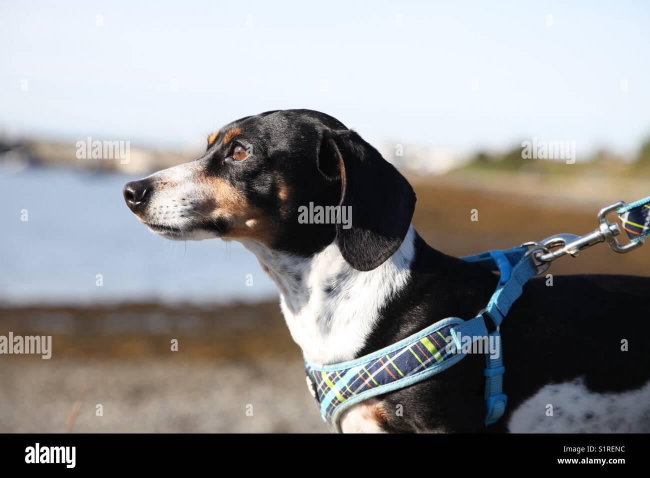Dapple dashound - Stock Image