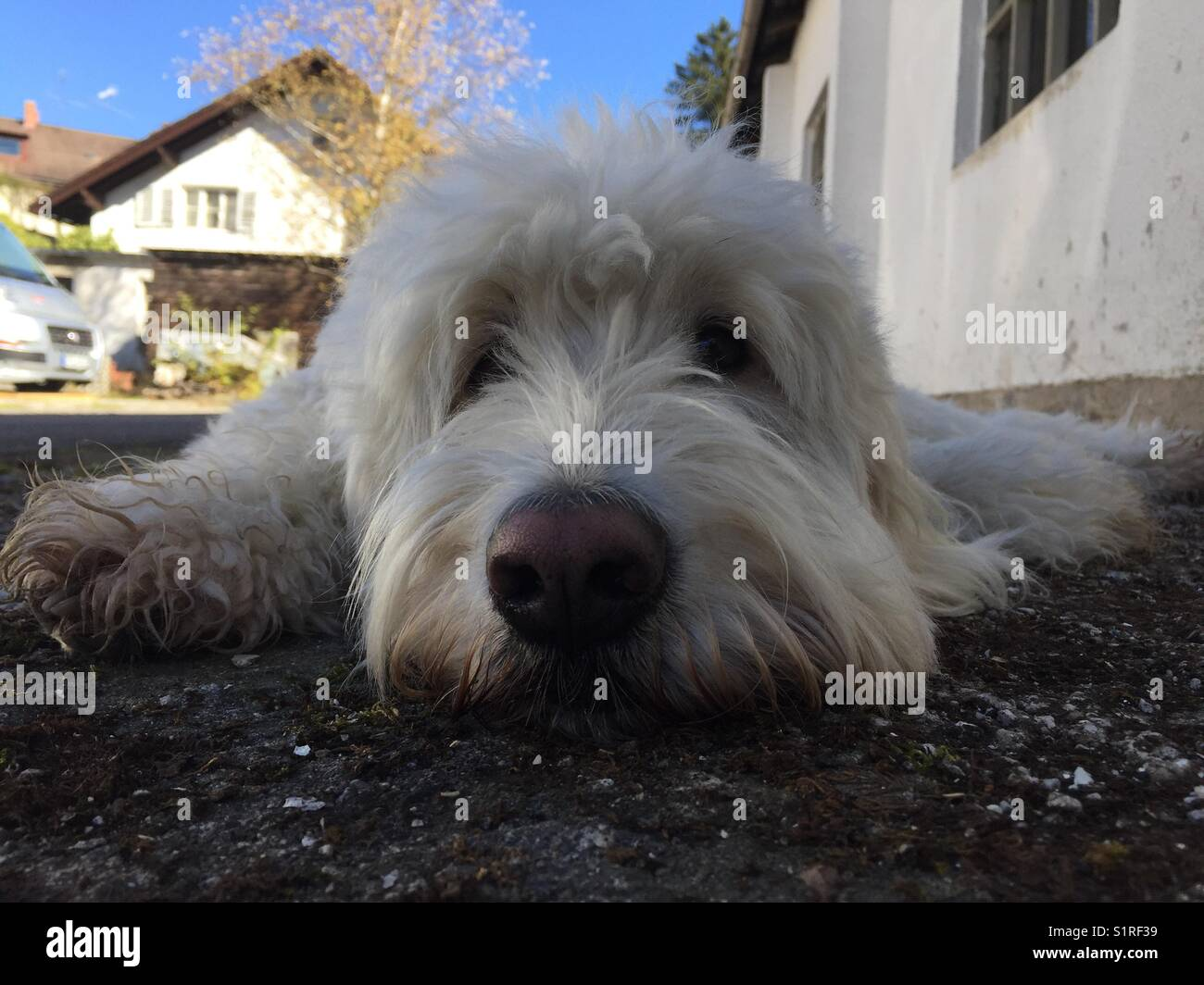 Closeup face of white dog goldendoodle with black nose on grey stony ground in front of blue sky in Starnberg Bavaria Stock Photo