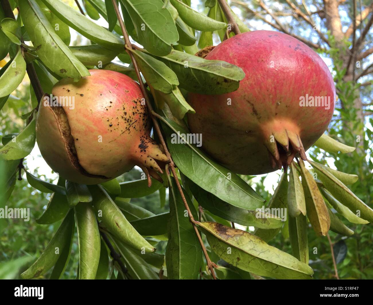 Red pomegranate plugged open for seads to spread in the South of Frace - Stock Image