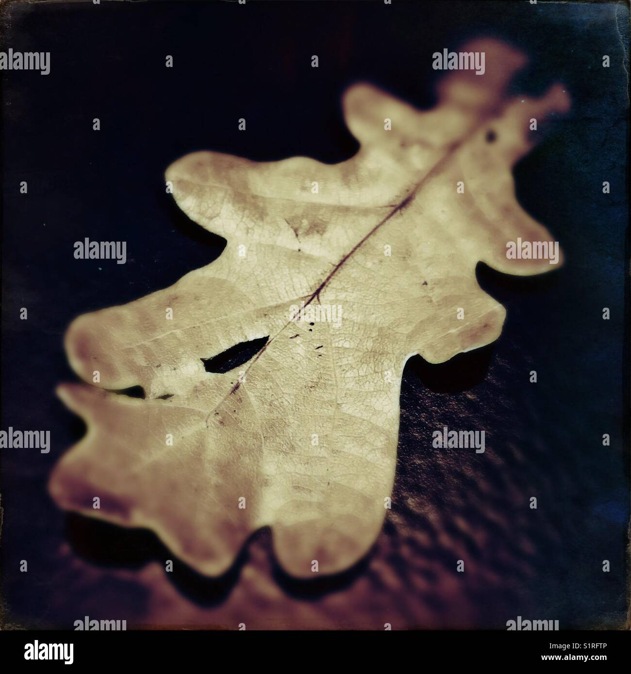 Autumnal Oak leaf Stock Photo