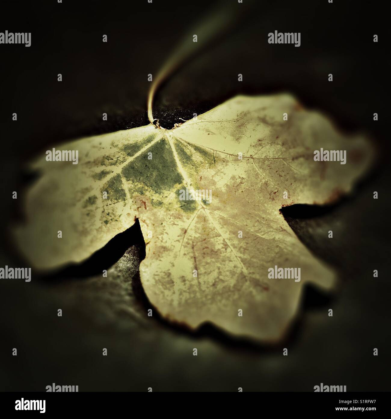 Autumnal Maple Leaf Stock Photo
