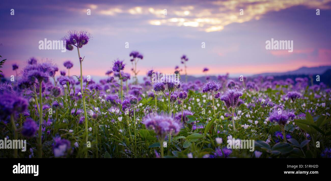 Purple Flowers Field And Purple Sunset Sky Stock Photo Alamy