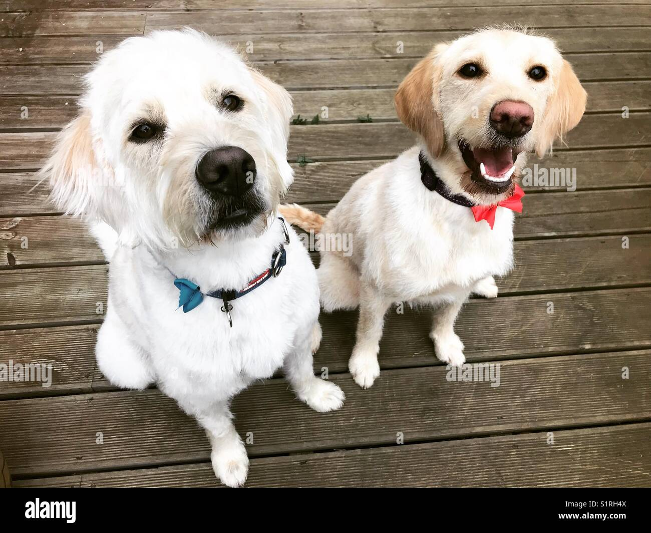 Sully and Brie the beautiful labradoodles enjoying the deck - Stock Image