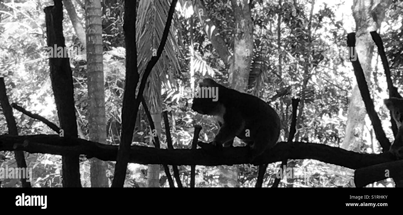 Koala on a branch black and white stock image