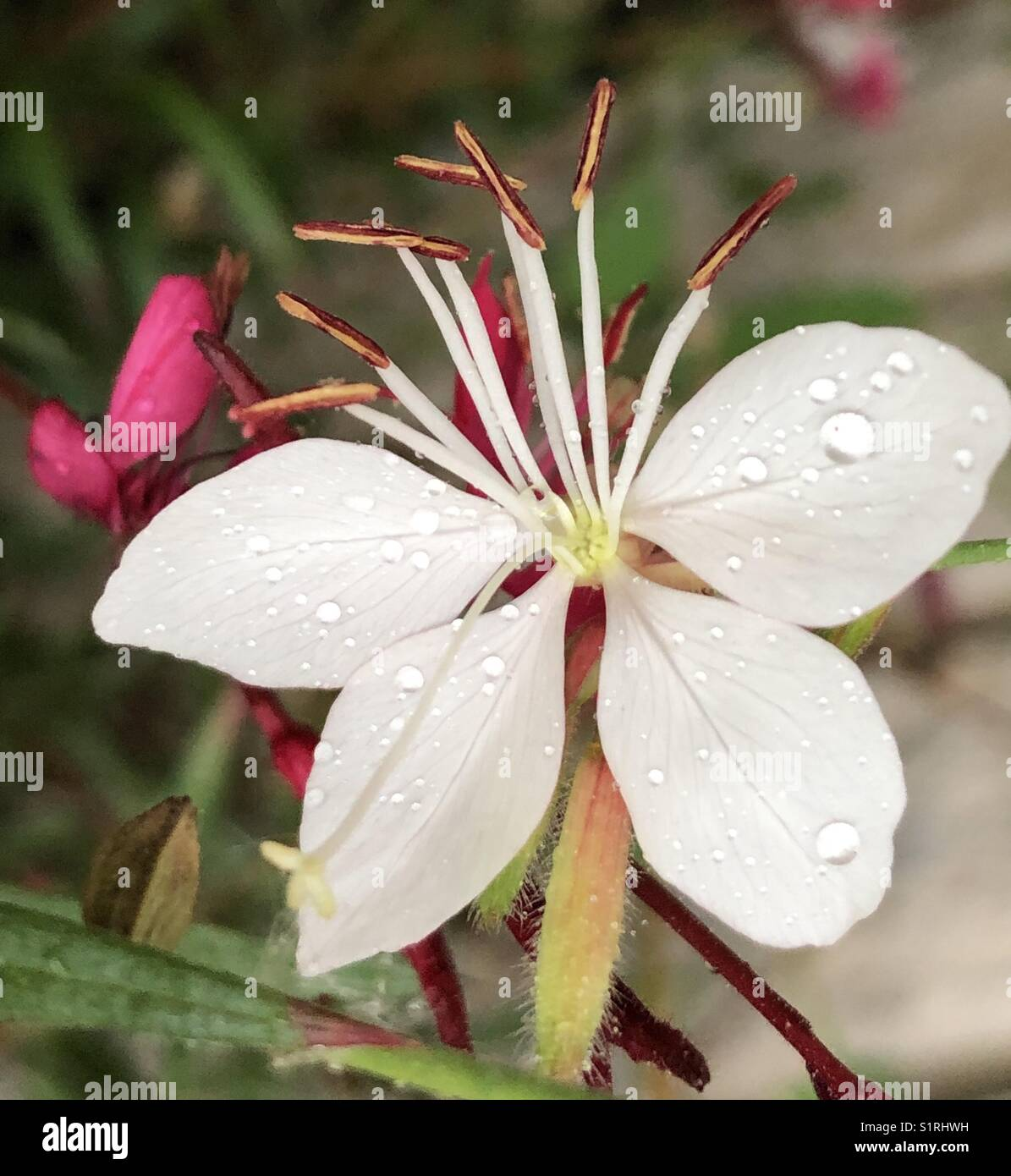 Gaura lindheimeri 'Whirling Butterflies' Bee Blossom perennial flower closeup with water droplets - Stock Image