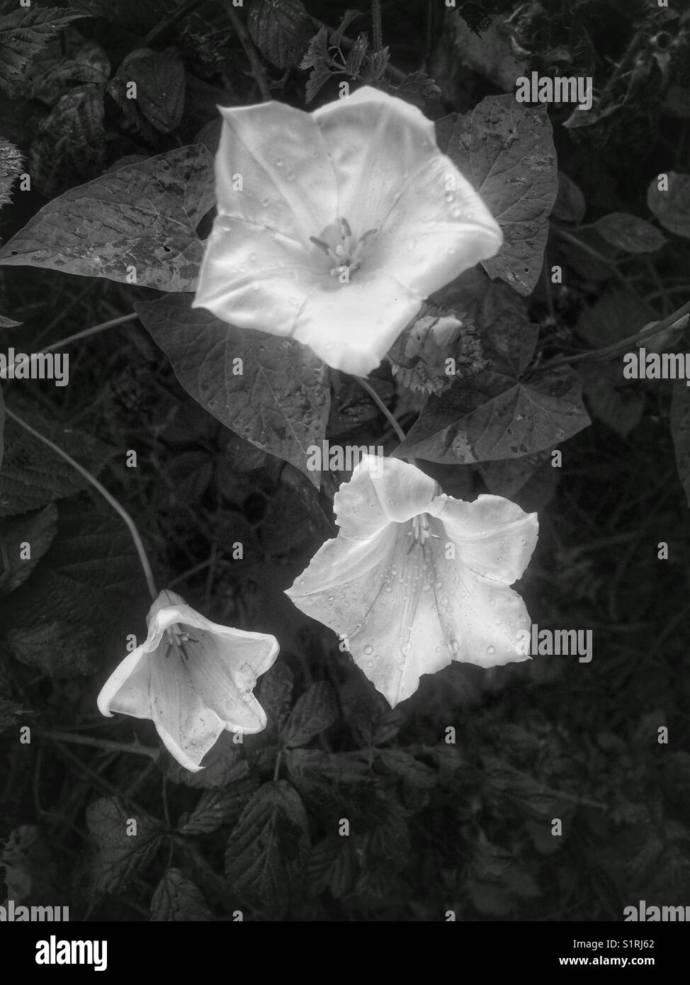 Trumpet wild flowers stock photos trumpet wild flowers stock white trumpet flowers of bindweed stock image mightylinksfo