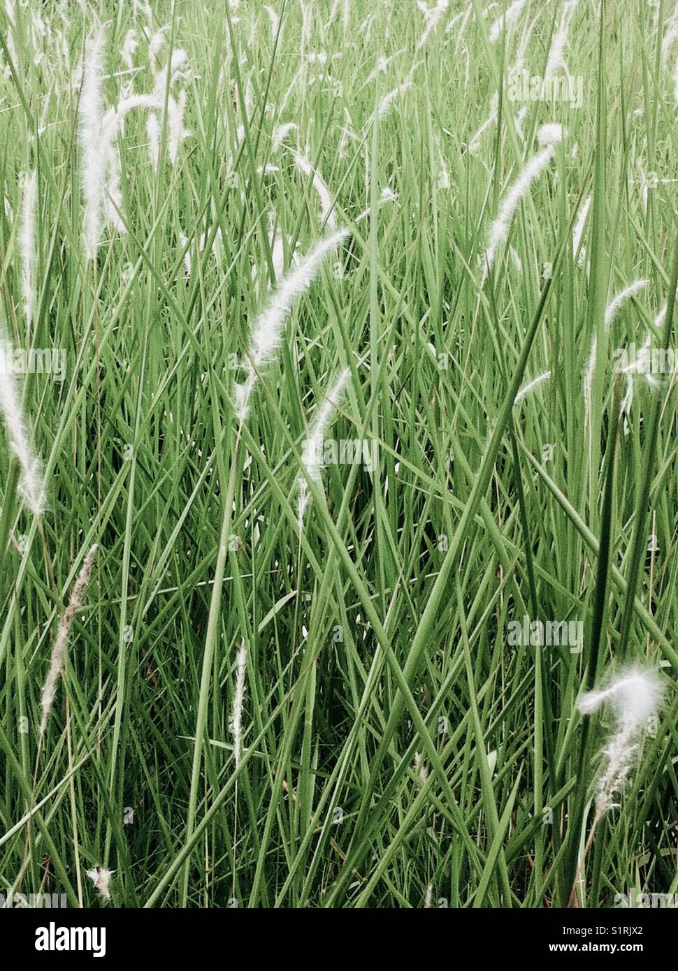 the feasibility of cogon grass imperata Cogon grass (imperata cylindrica) forms a dense mat and produces plenty of leaves that make itshow more content paper making is the process of making paper, a substance which is used ubiquitously today for writing and packaging (elliot, 1995).