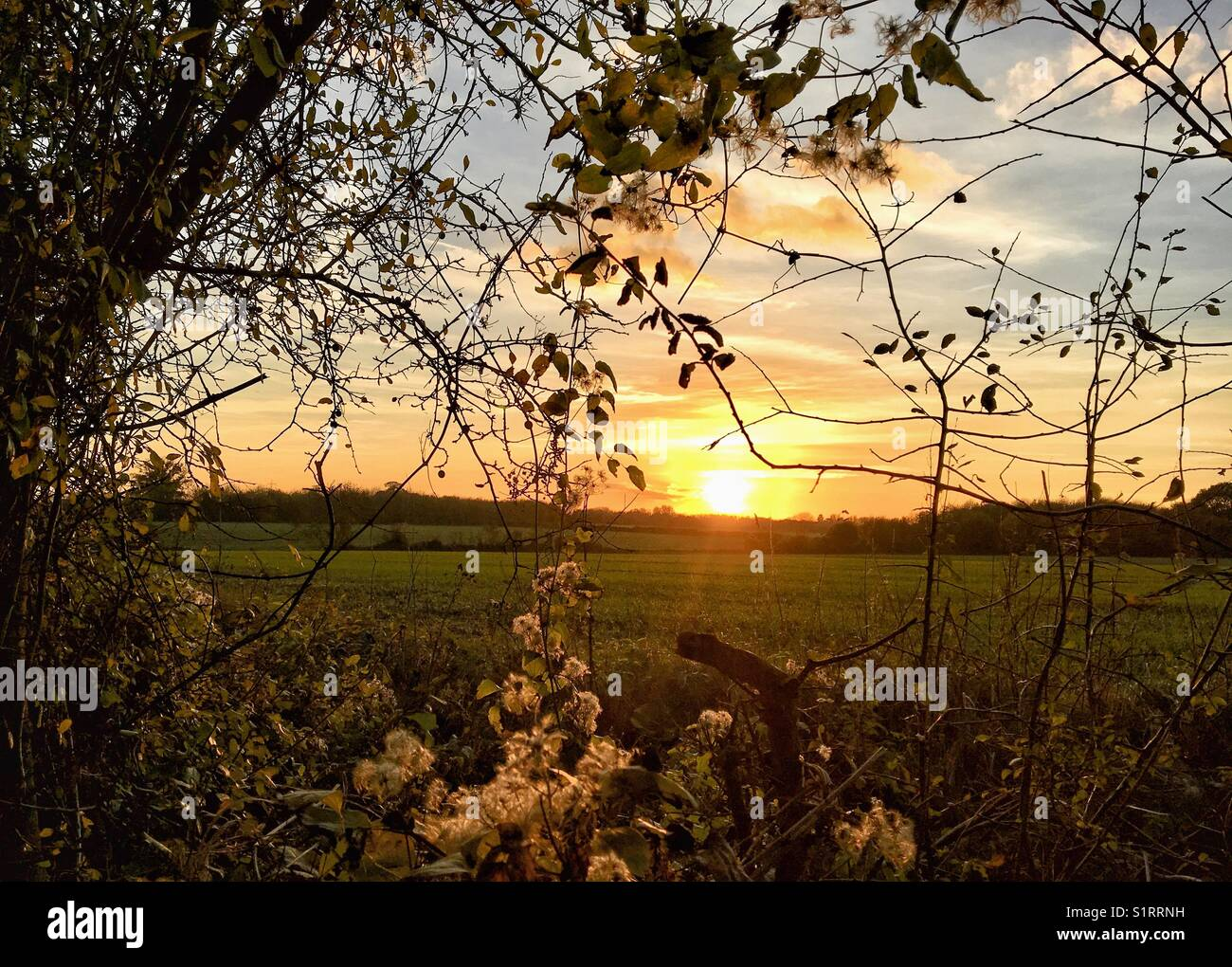 The setting sun lighting up the Old Man's Beard seedheads in a rural location near Harlow in Essex - Stock Image