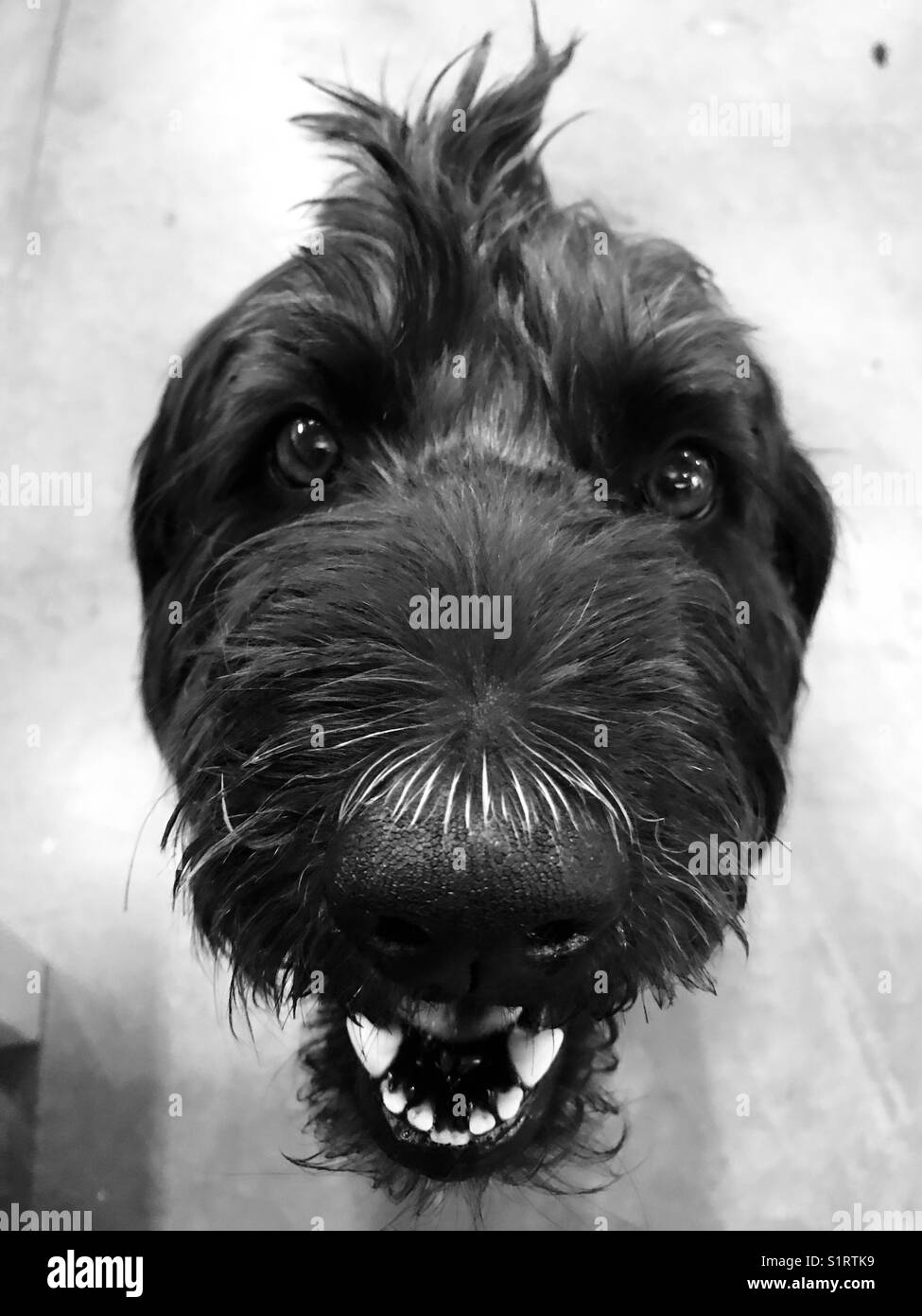 A black labradoodle dog looking at the camera. - Stock Image