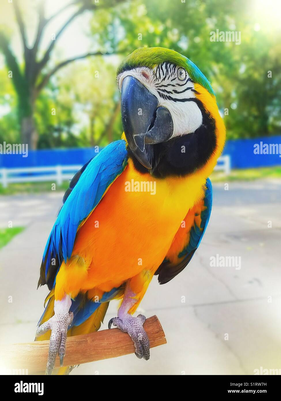 This is my 23 year old Blue and Gold Macaw - Stock Image