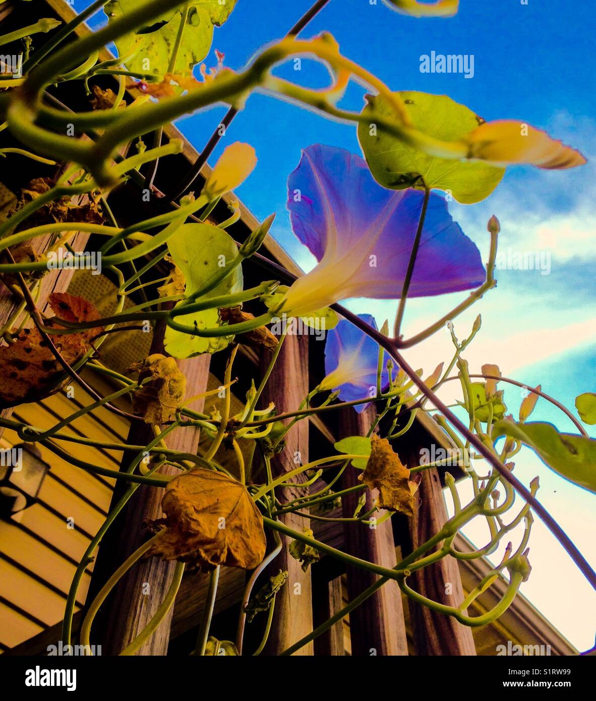Morning glories on the handrail - Stock Image
