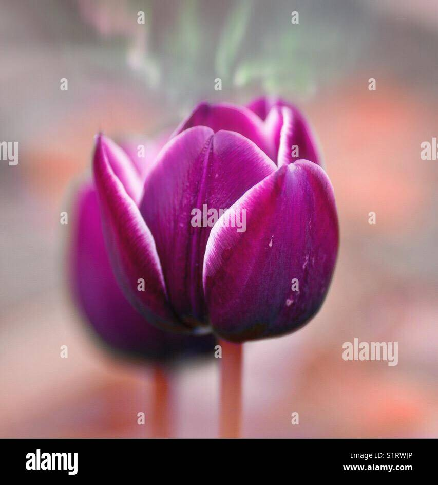 Tulip abstract close Up Stock Photo