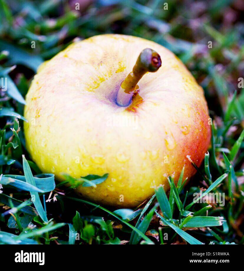 Fallen autumnal Apple Stock Photo