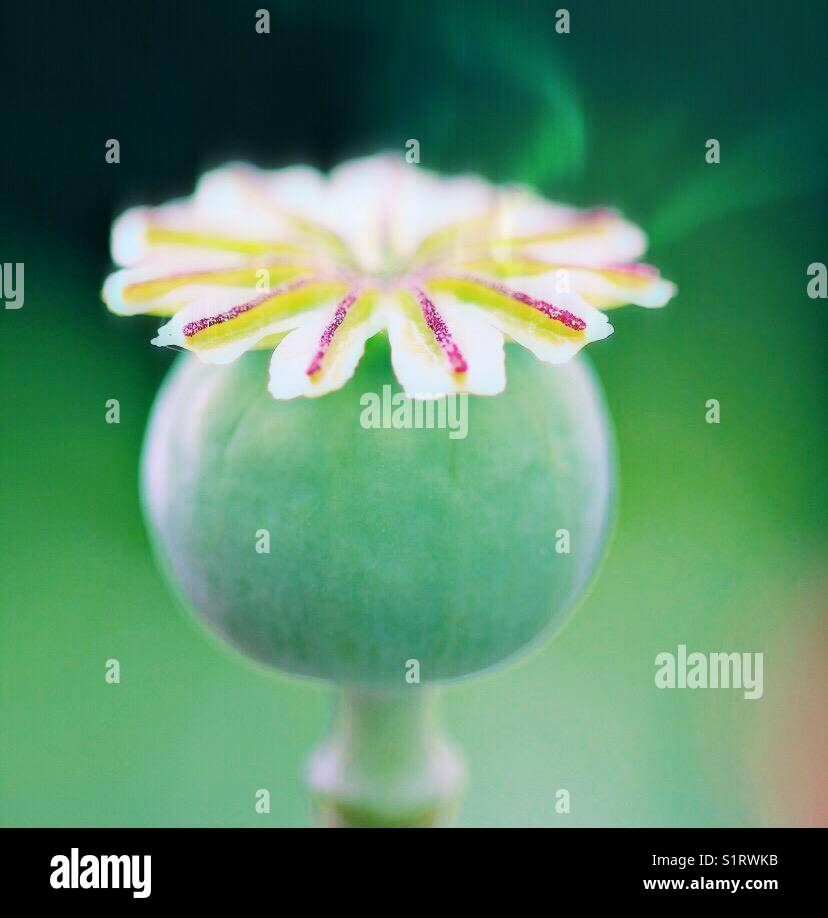 Poppy seed head autumnal Stock Photo
