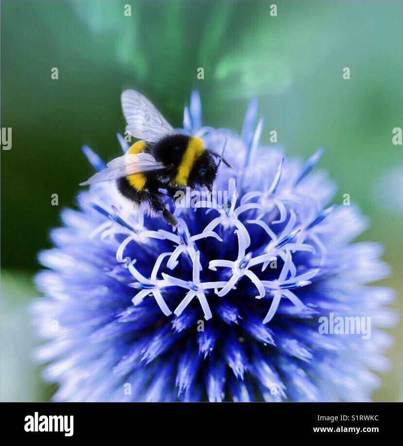 Echinops vetch blue with bumblebee Stock Photo