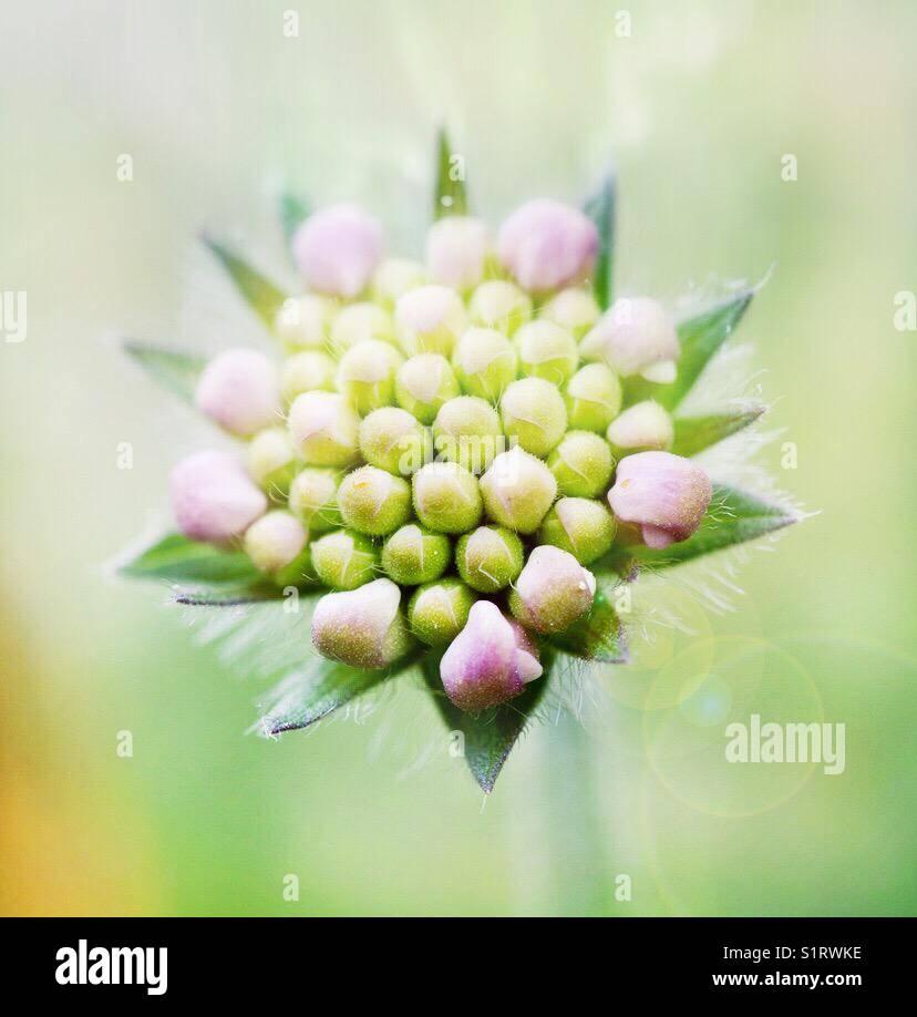 scabious flower bud Stock Photo