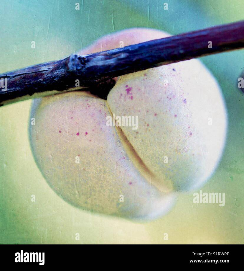 Peach fruit on a branch Stock Photo