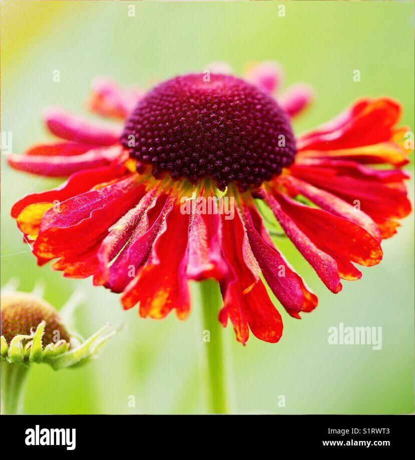 Helenium flower summer Stock Photo