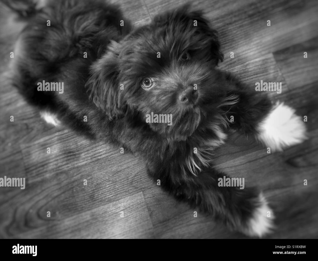 Chocolate Havanese with white paws laying down & looking up