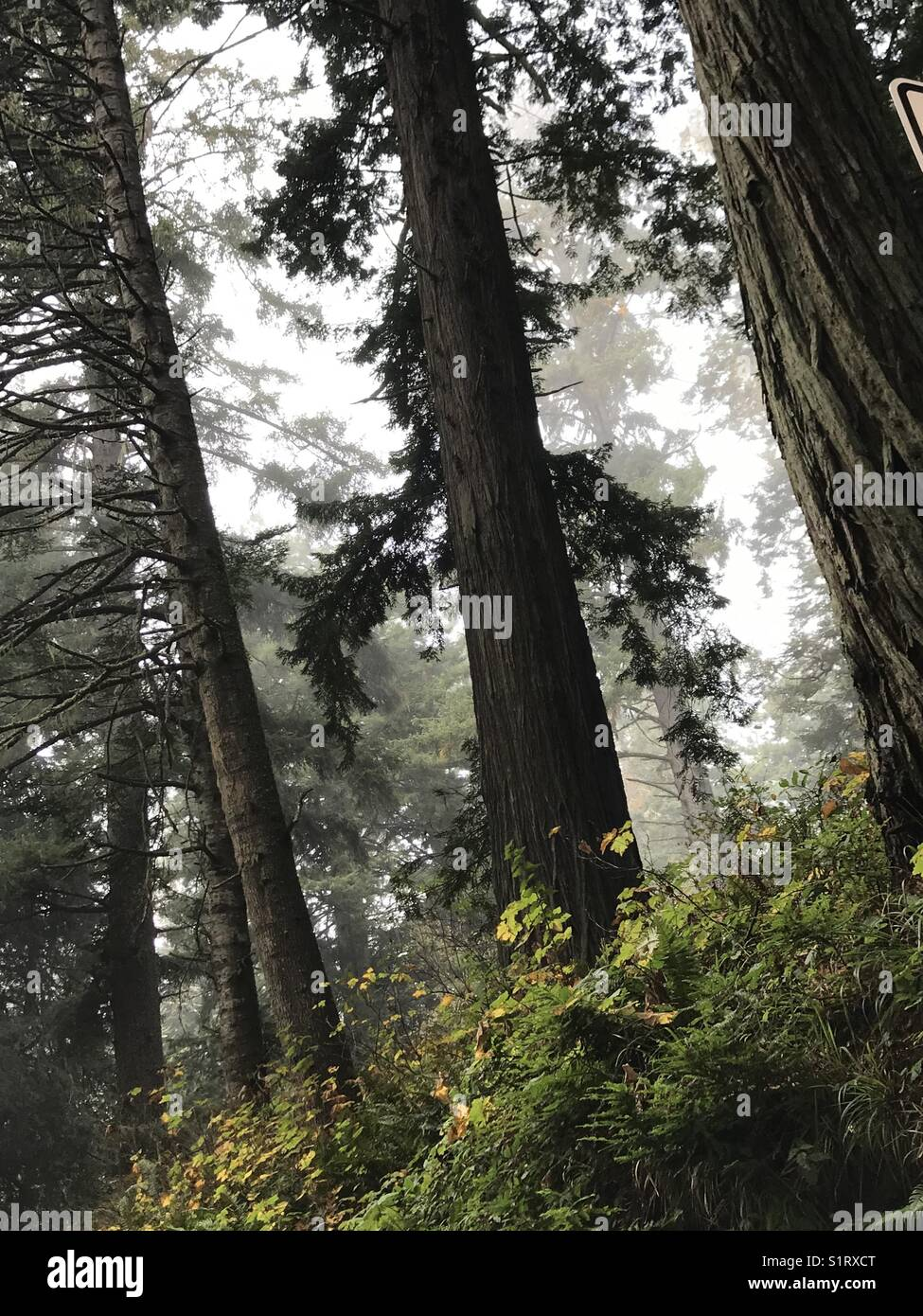 Redwoods in the fog - Stock Image