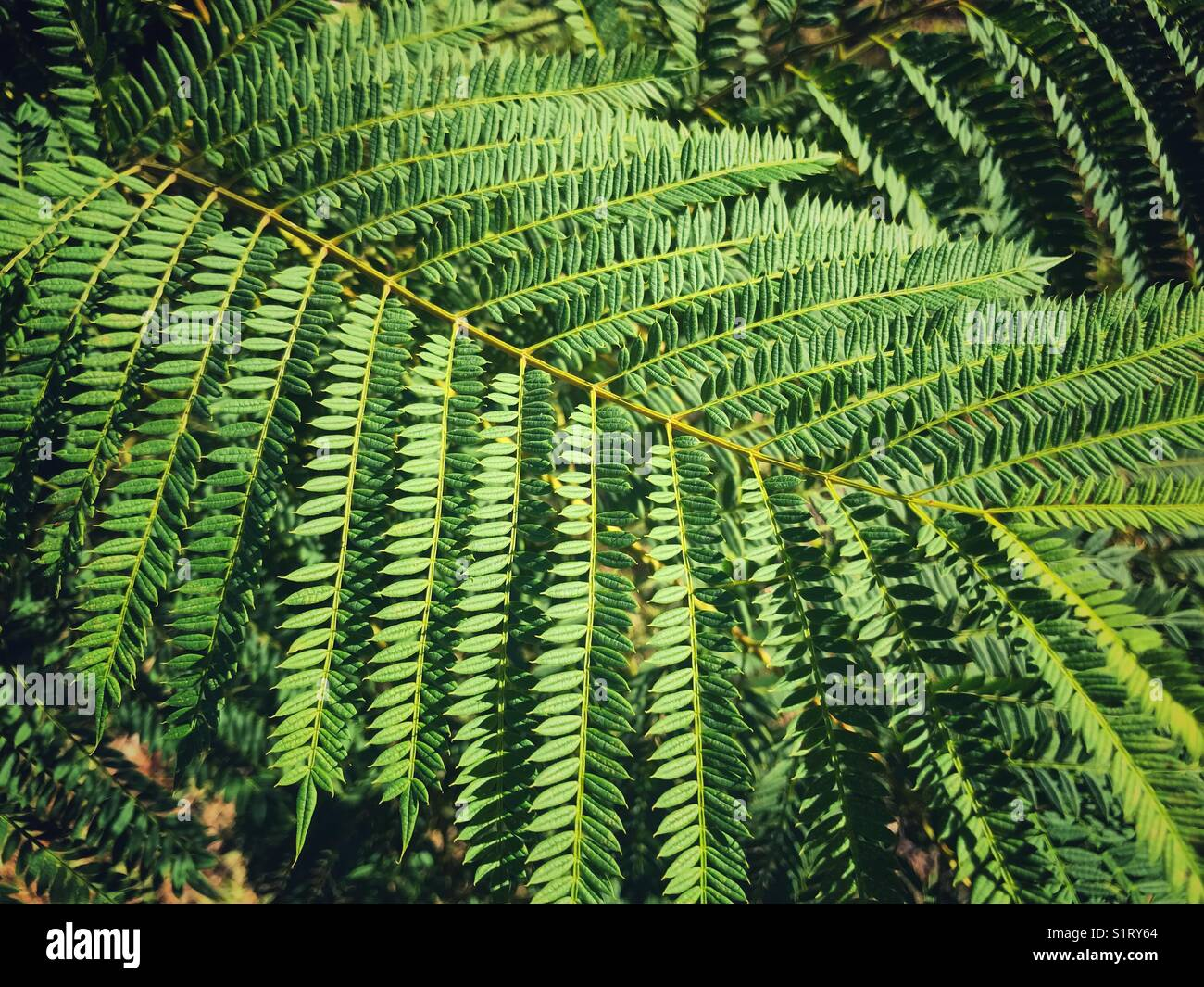 Jacaranda Leaves High Resolution Stock Photography And Images Alamy