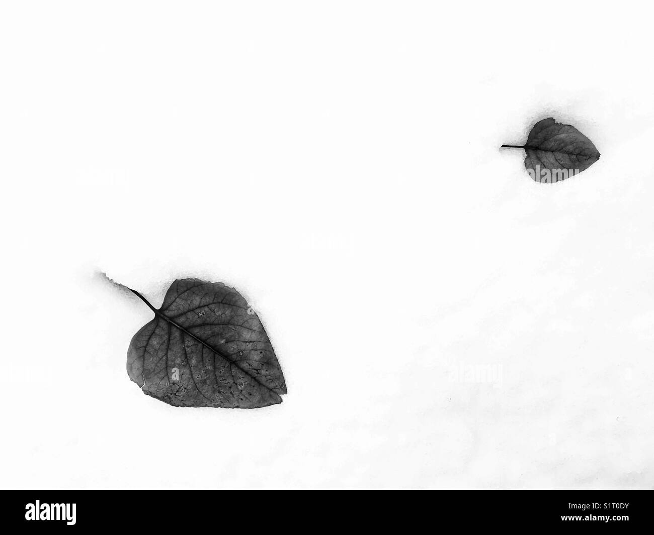 Two fallen leaves in fresh snow. In black and white. - Stock Image