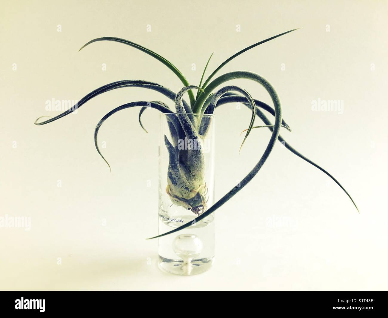 An air plant in a shot glass. - Stock Image