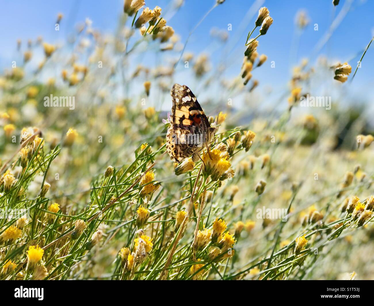 Butterfly feeding on flowers at the Lower Salt River, AZ - Stock Image