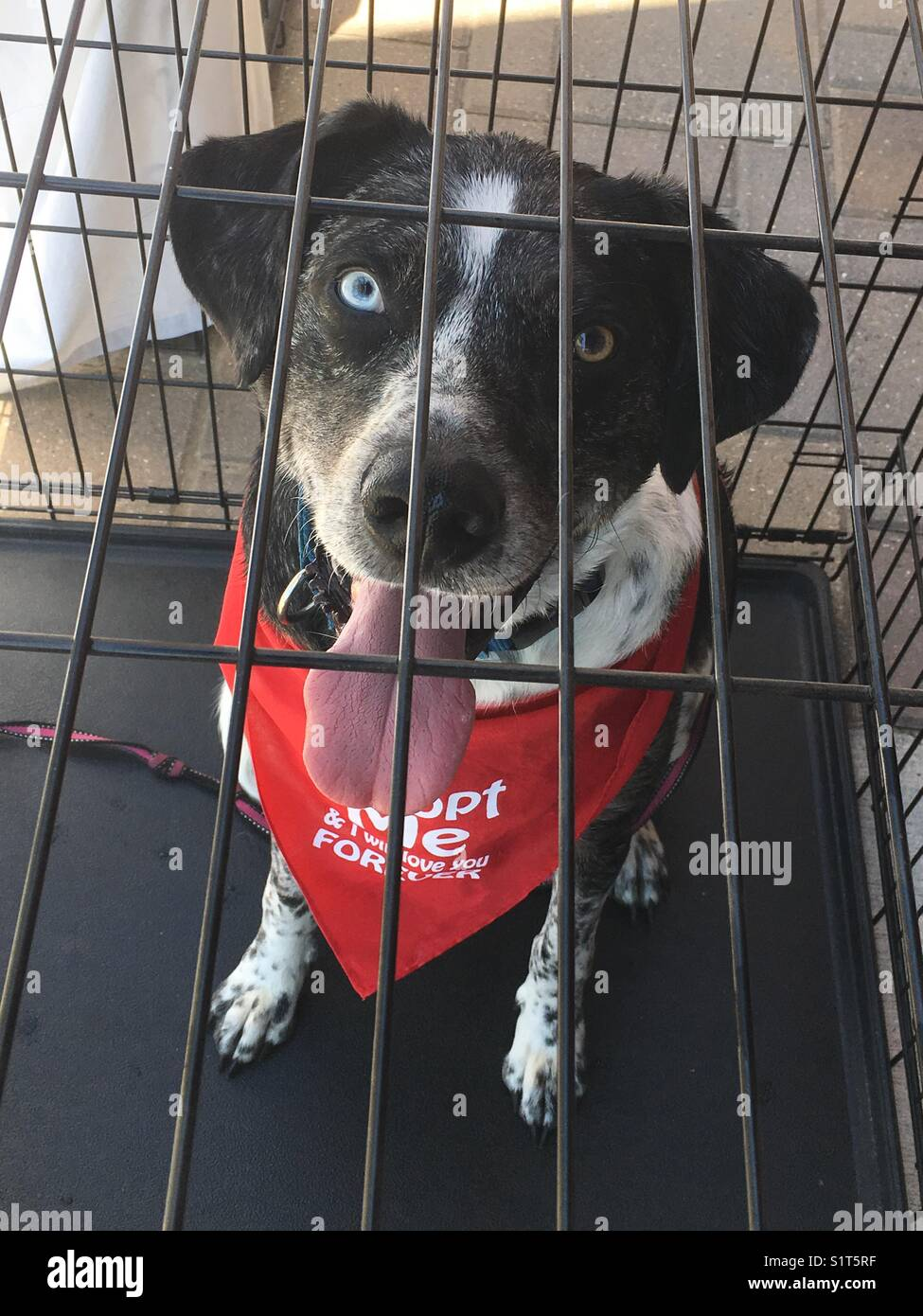 Foster dog in shelter waiting to be adopted - Stock Image