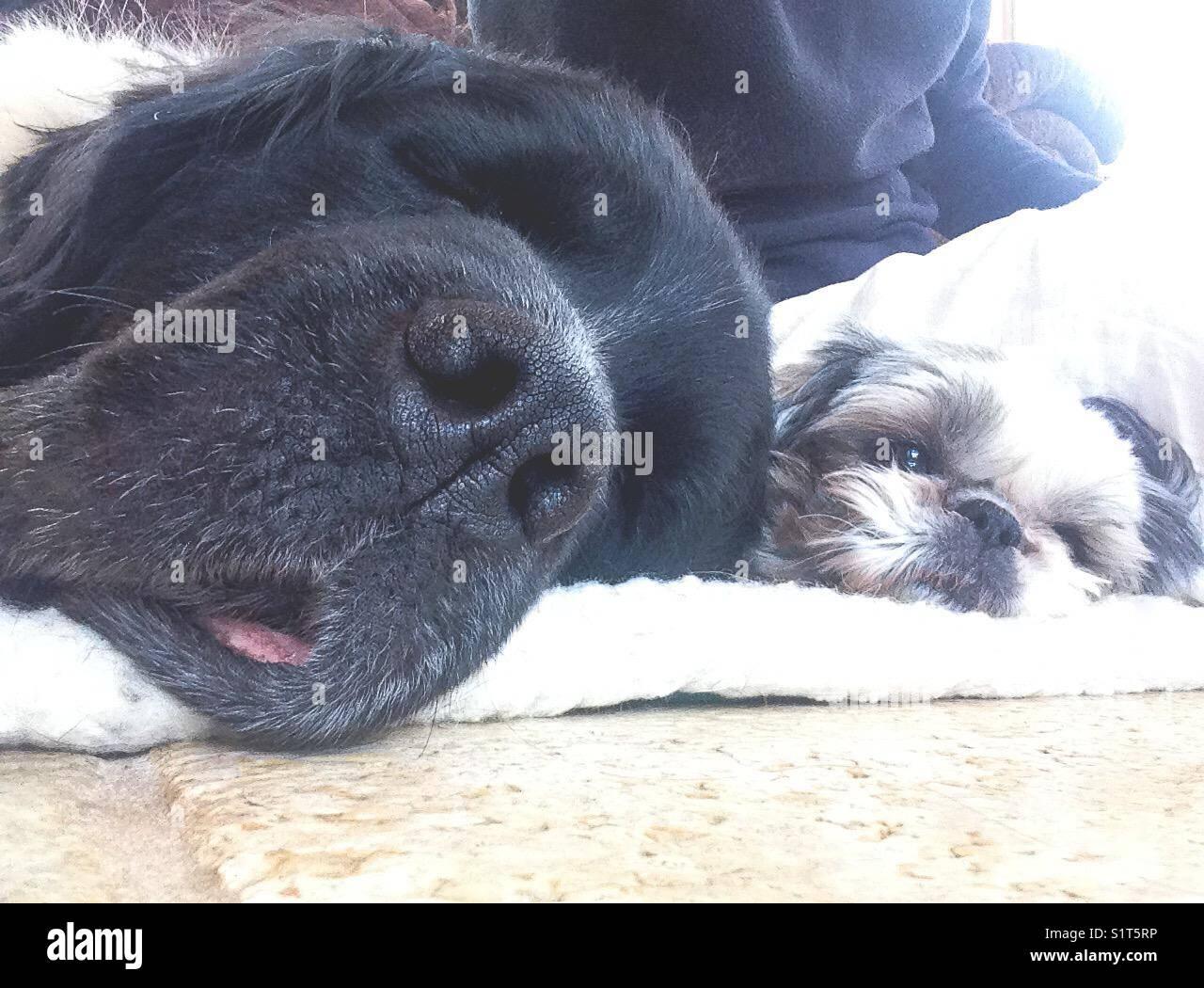 Big dog sleeping next to little dog - Stock Image