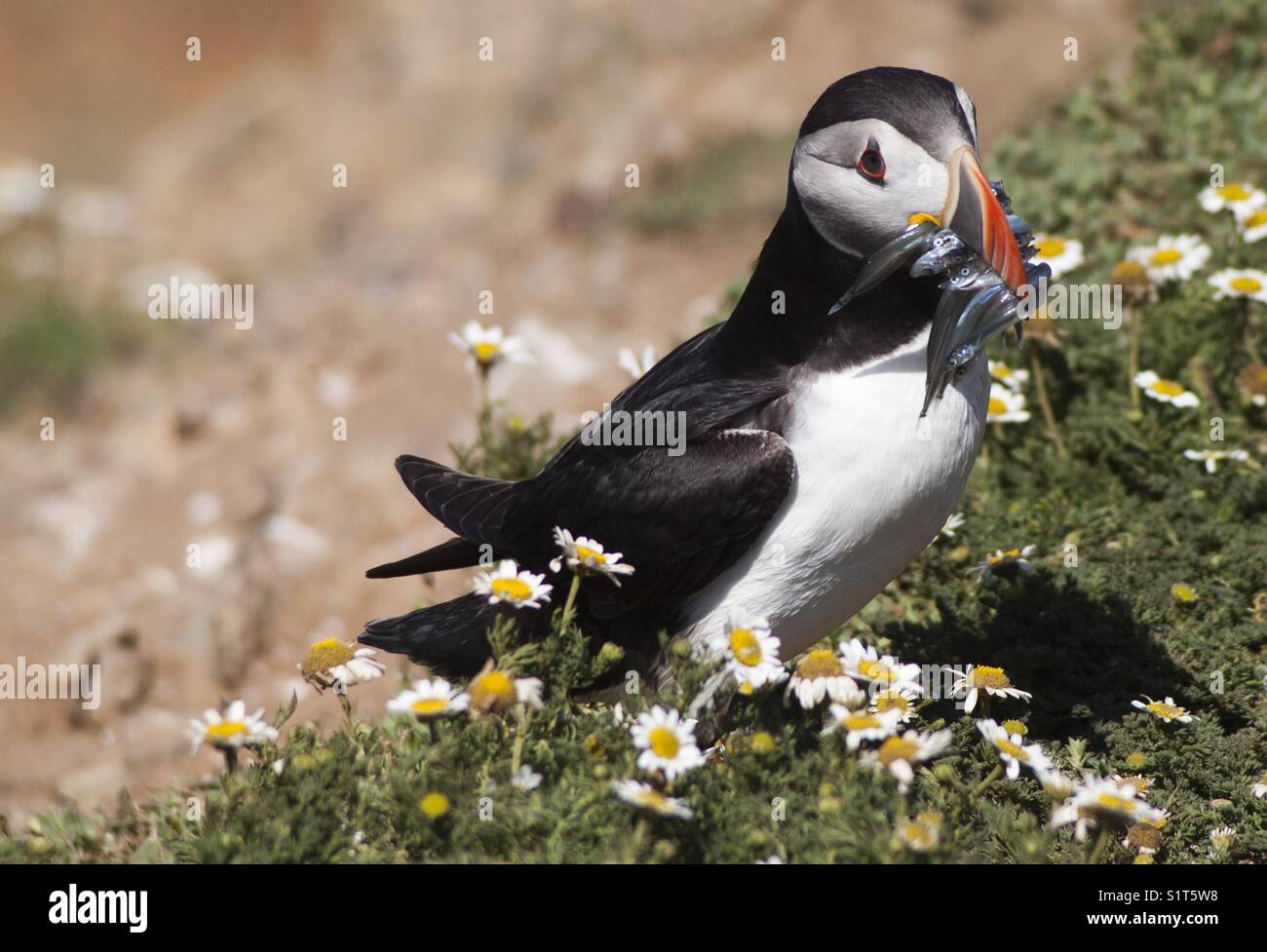 Puffin with sandeels in mouth Stock Photo