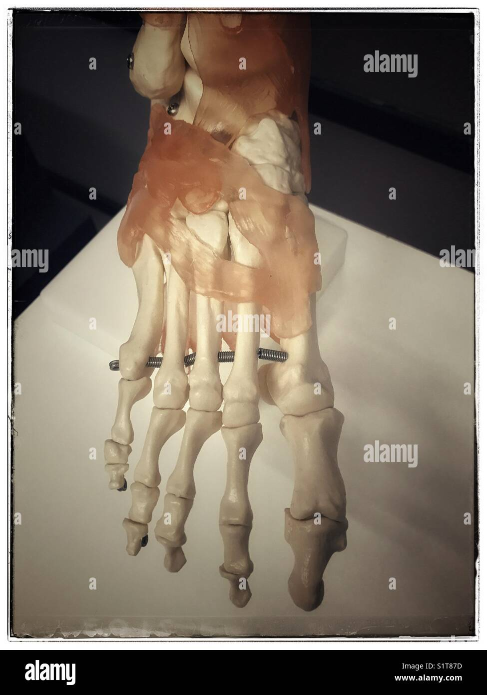 Anatomical model of human foot. - Stock Image
