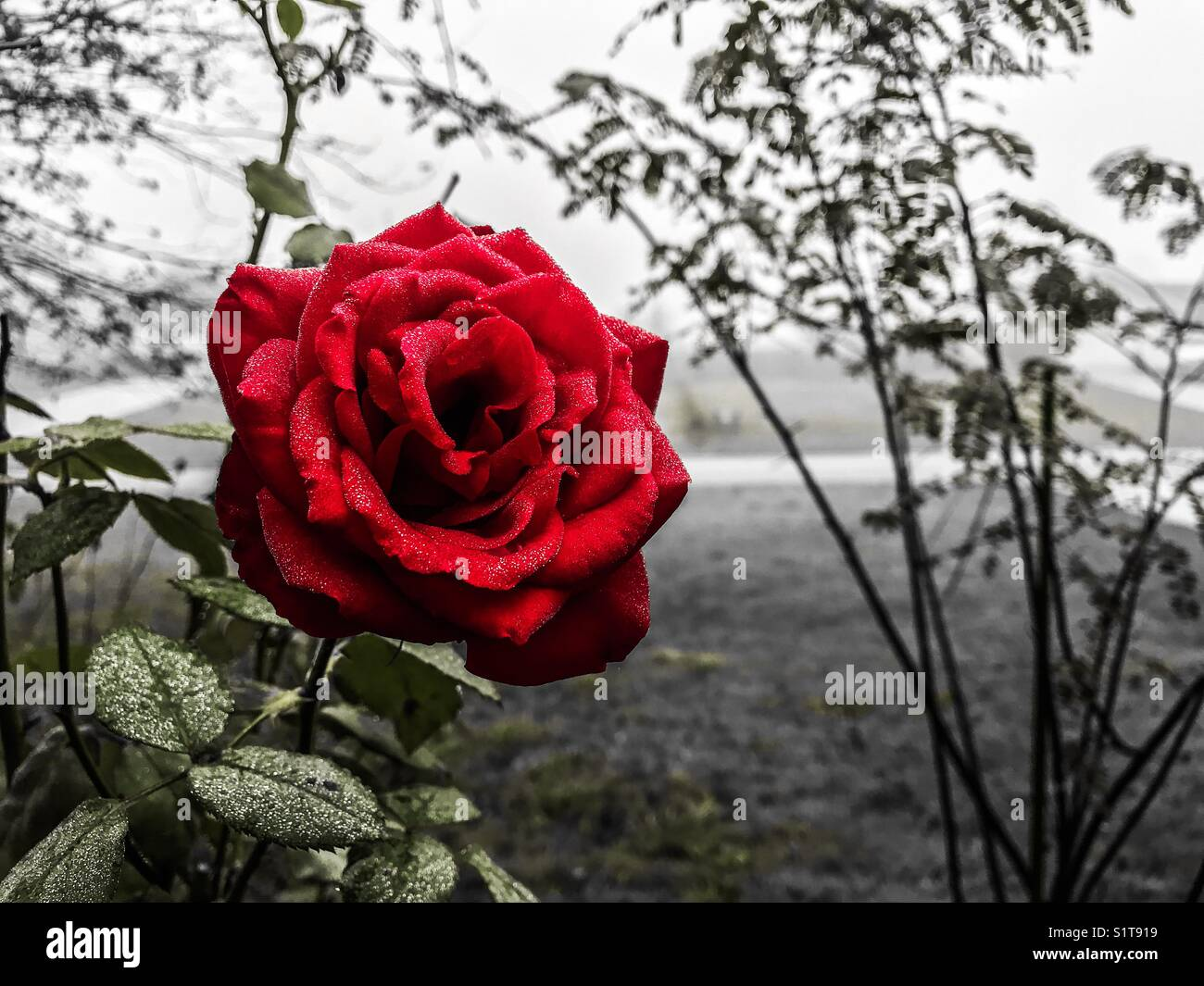 Love is like a rose, each petal is like an illusion, each thorn, a reality. - Stock Image