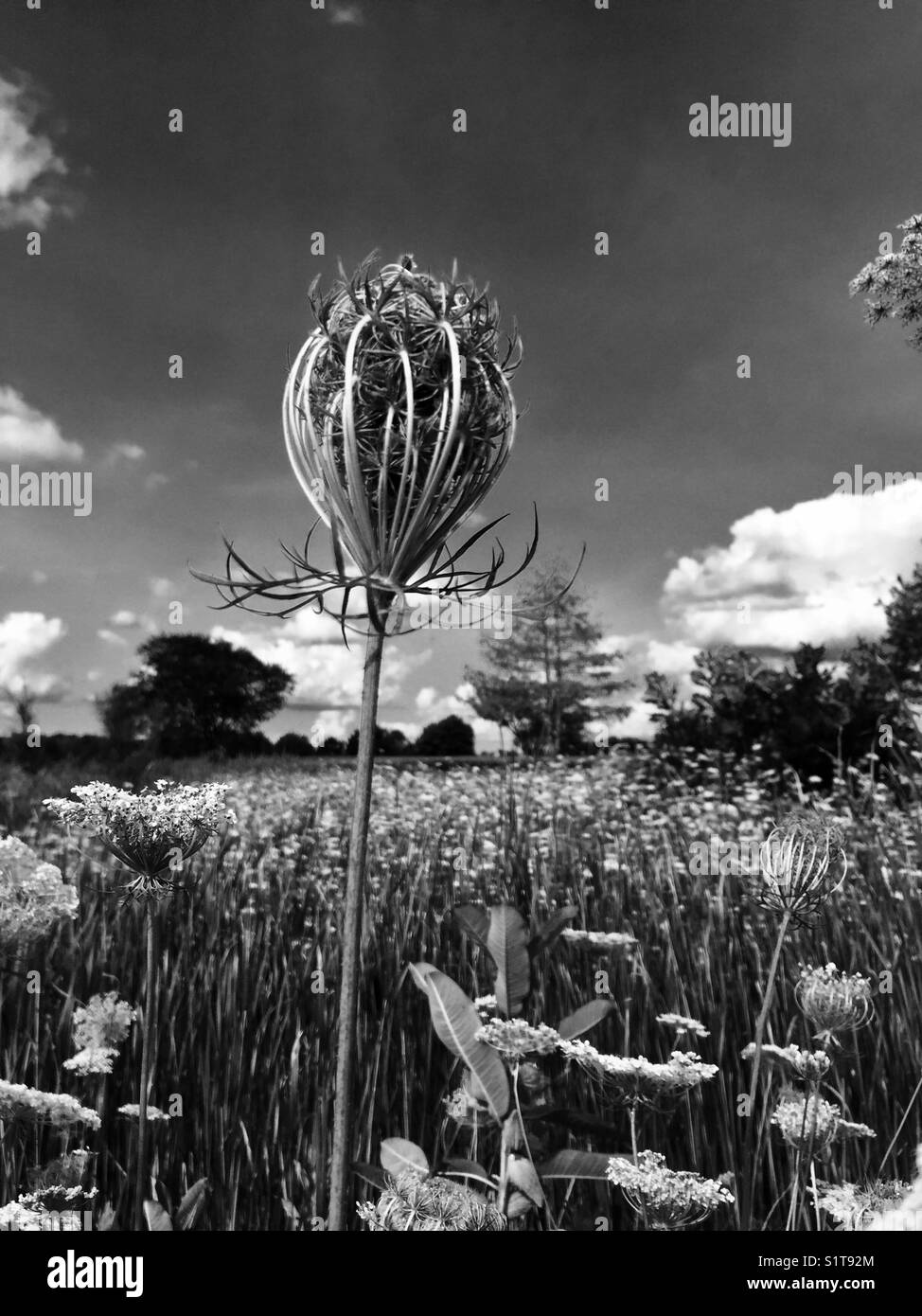Black and white of a Milk Weed in a prairie on a hot summer day in the Midwest. - Stock Image