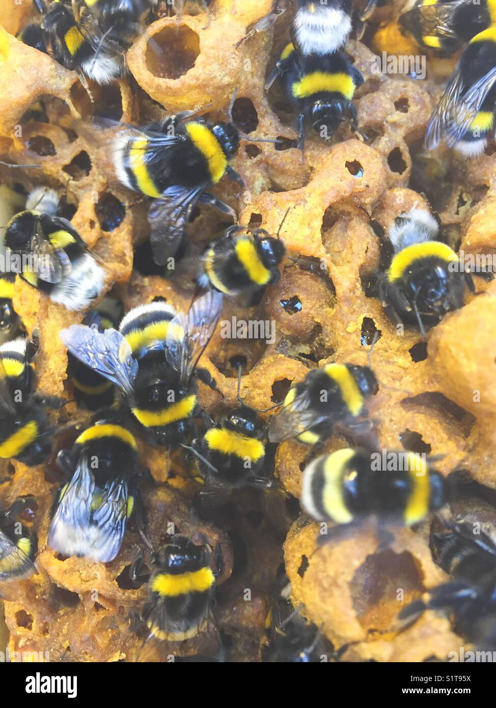 Pollinating bees in bee hive close up - Stock Image