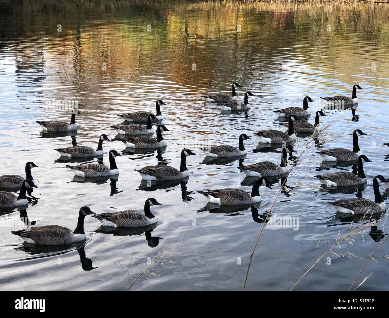 Canada geese on North Willen lake, Milton Keynes,Buckinghamshire,England - Stock Image