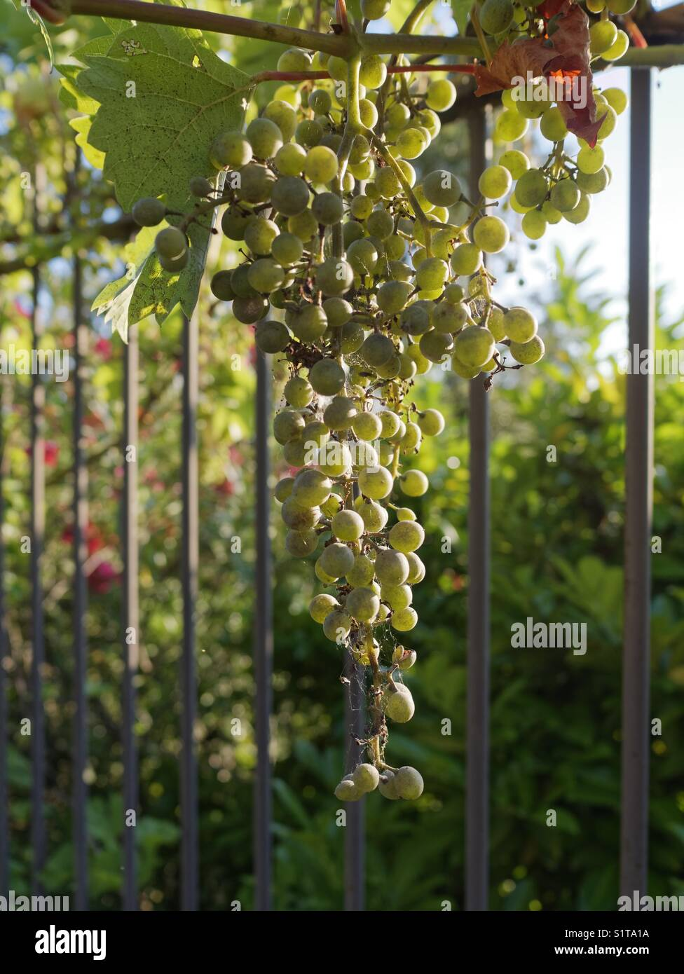French grapes Stock Photo