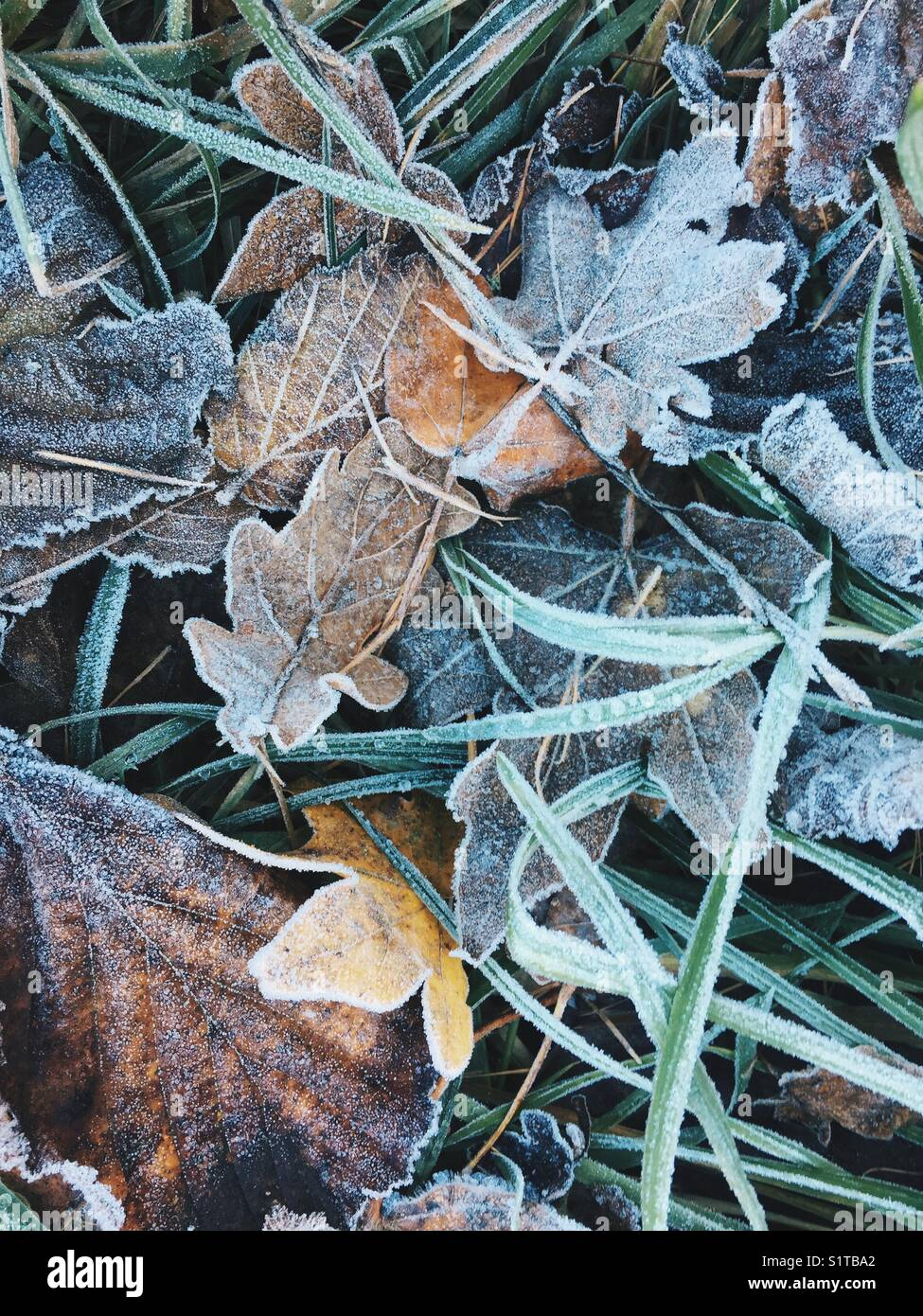 Leaves in the frost. - Stock Image